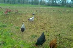 Les poules enlèvent la vermine du jardin
